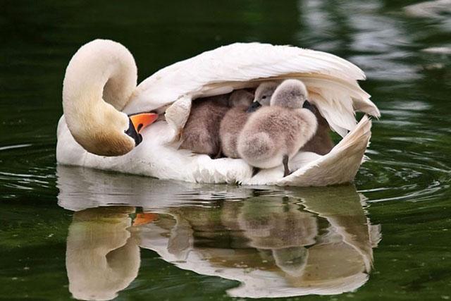 تصاویری عاشقانه از مهر مادری پرندگان